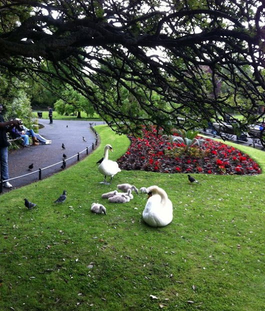 Swans on the Green, #park #ireland #Dublin