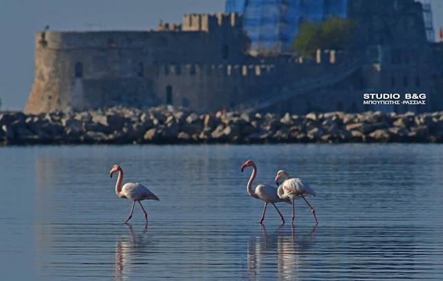 Στιγμές ηρεμίας για τρια ενήλικα φλαμίνγκο στο Ναύπλιο