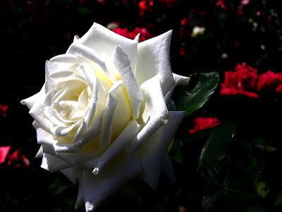 white colour rose wallpaper hd