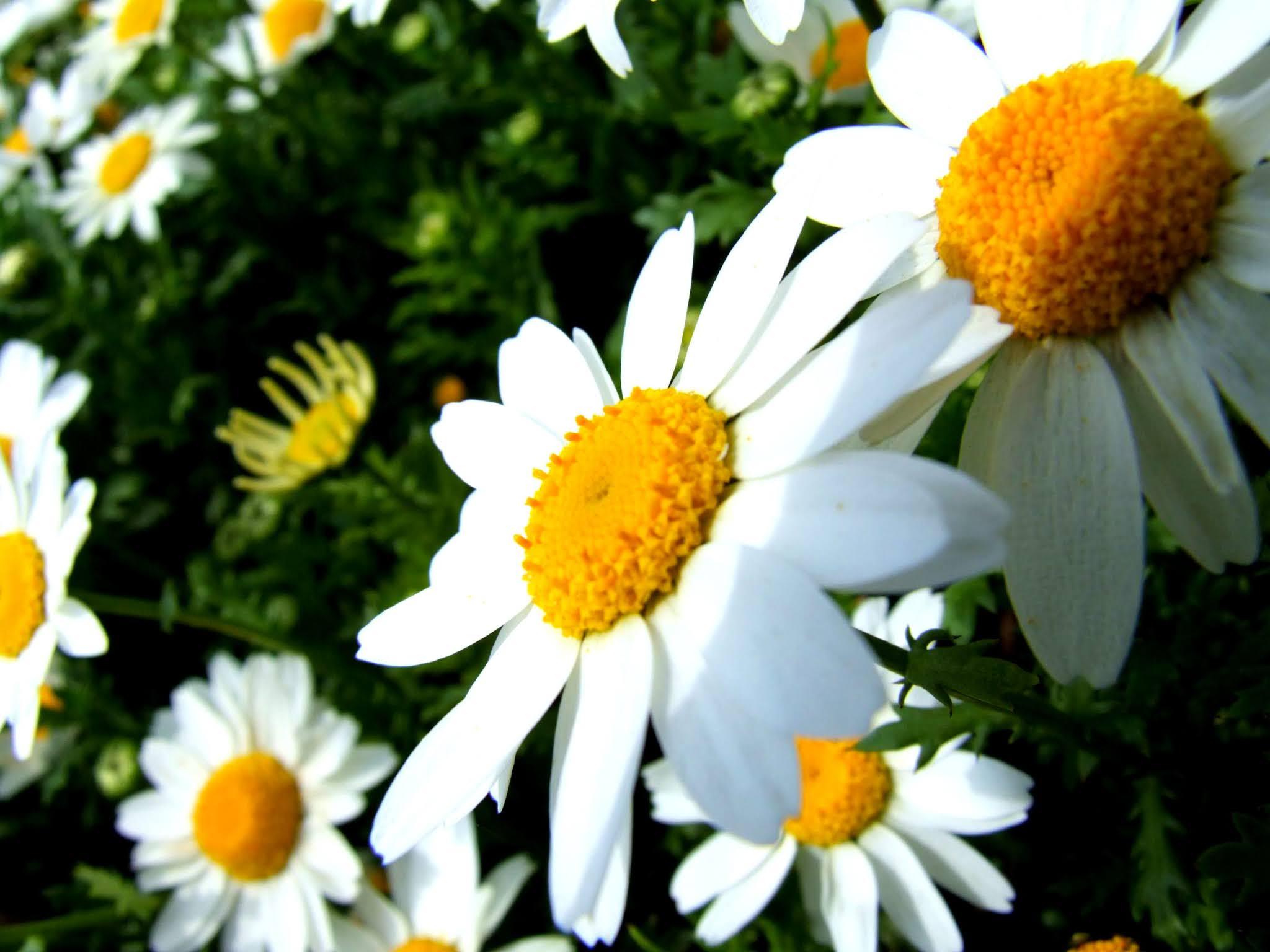 マーガレット(モクシュンギク)の花の写真素材です。白く咲き誇る花弁がキレイですよね。画面を華やかにしたい場面でいかがでしょう。