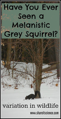 grey squirrel genetic mutation black fur science wildlife education