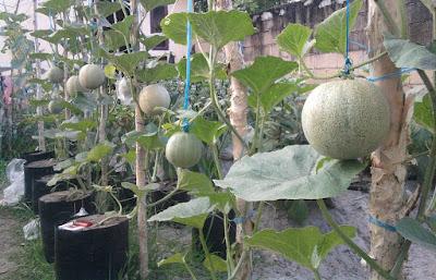 Melon Tabulampot