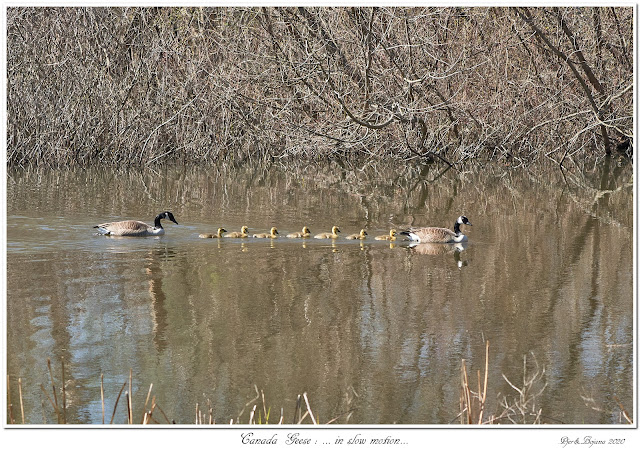 Canada Geese: ... in slow motion...