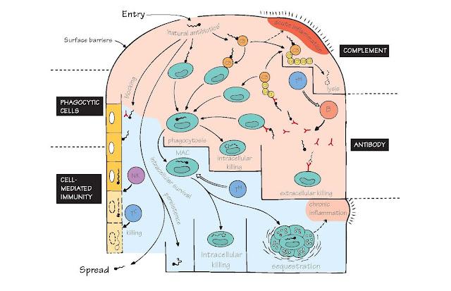 Antimicrobial Immunity: A General Scheme