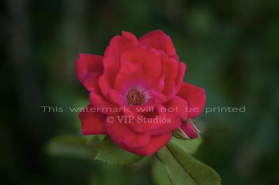 Garden Rose_6050