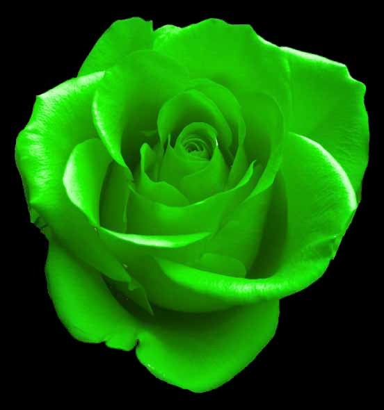 green rose black background - photo #6