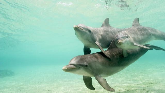 Foto drie dolfijnen onderwater