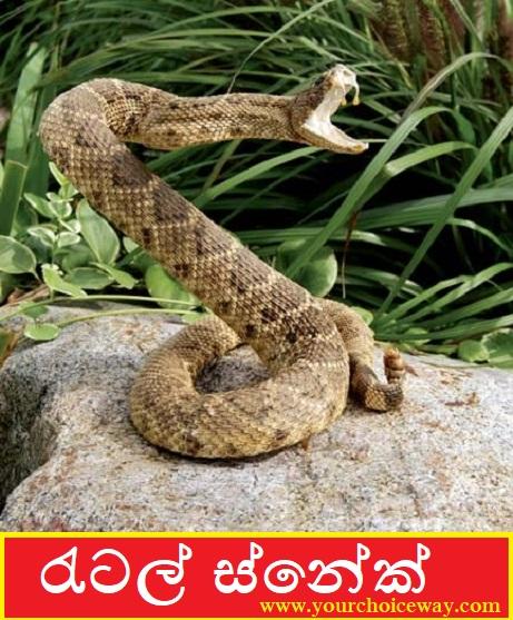 රැටල් ස්නේක් ( Rattle Snake ) - Your Choice Way