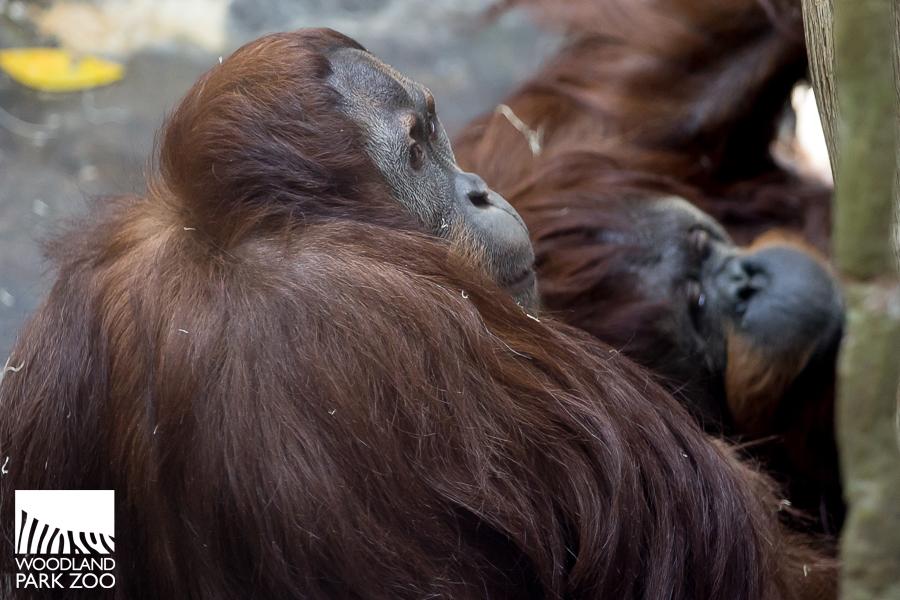 Godek and Chinta, orangutans