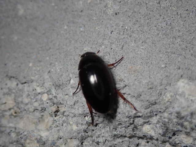 Tropisternus quadristriatus