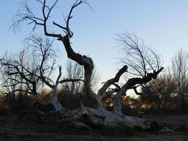 The Old Cottonwood, Like  2020, Is Almost Gone