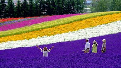 Jepang Tawarkan Kebun Lavender