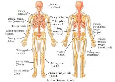 Macam - Macam Tulang pada Rangka Tubuh Manusia - berbagaireviews.com