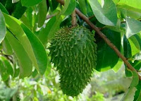 Benefits of Soursop Leaf To Diet Most Powerful