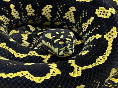Carpet Python, The Best Pet Snake? - Morelia Spilota - Living Diamond –  reptilenesia