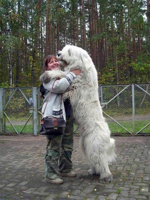 big cute dogs, cute big dog breeds, Pictures of dogs