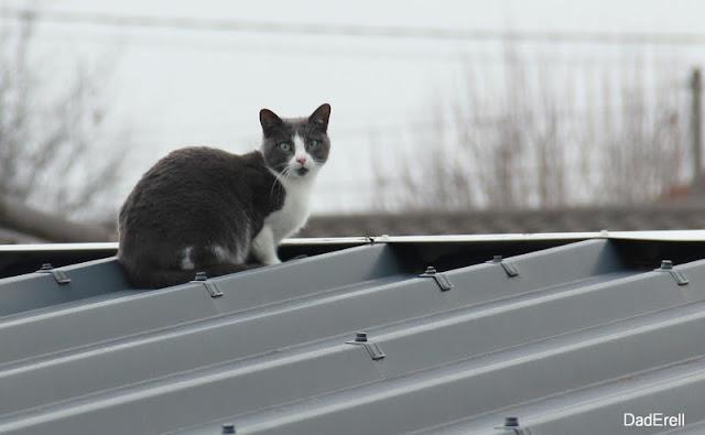 Le chat sur le toit est surpris par le photographe