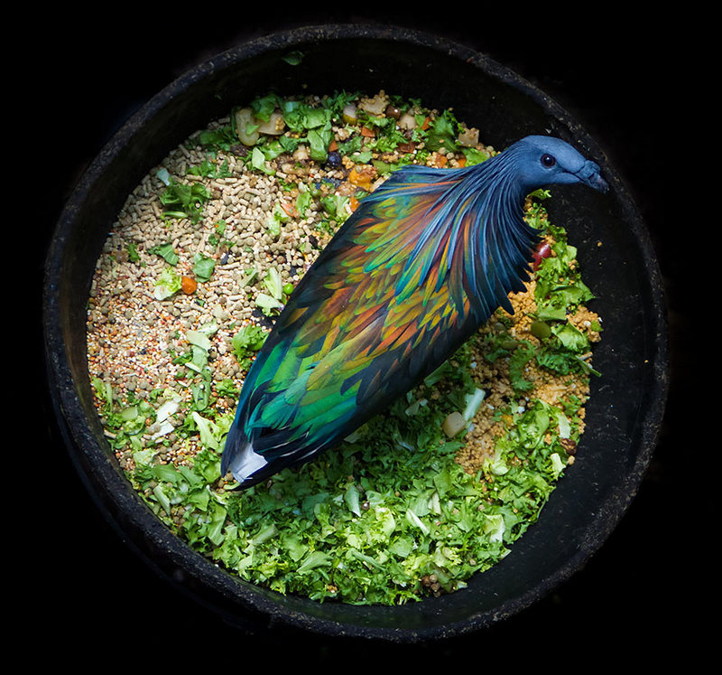 Nicobar Pigeon, The closest relative of the extinct dodo birds, Colorful Pigeon, closest living relative, nicobar pigeon relate to the dodo