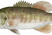 Redeye Bass (Micropterus coosae)