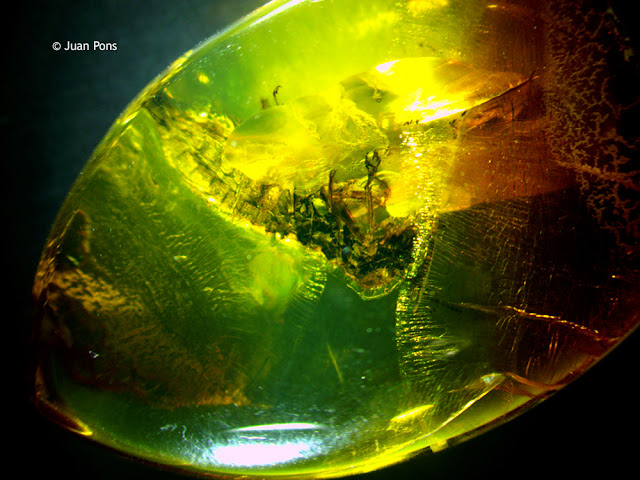 Insect in a piece of amber under the microscope at 17x.
