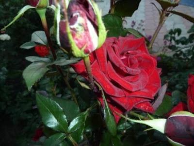Дип Секрет роза