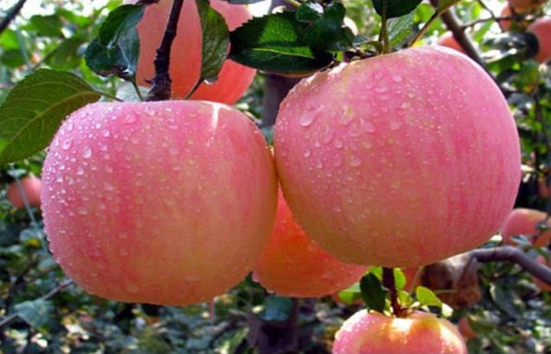 Bisa Beli Ecer! Bibit tanaman buah apel pink honey okulasi siap berbuah Kota Malang #jual bibit buah buahan