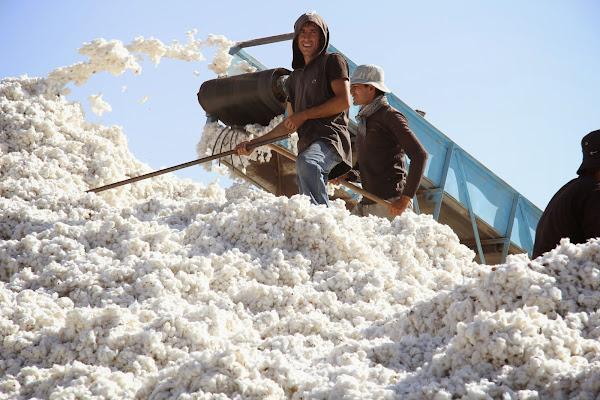 Tadjikistan, Yavan, coton, © L. Gigout, 2012