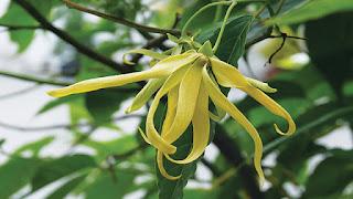 tanaman bunga kenanga