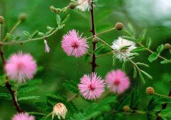 Herbal Extract Acacia Arabica Indian Gum Arabic Tree Black Babool