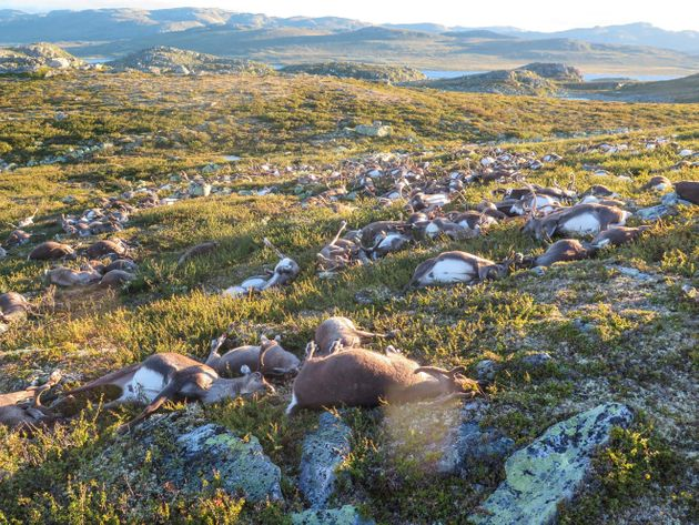 200 τάρανδοι νεκροί από την κλιματική αλλαγή στην Αρκτική