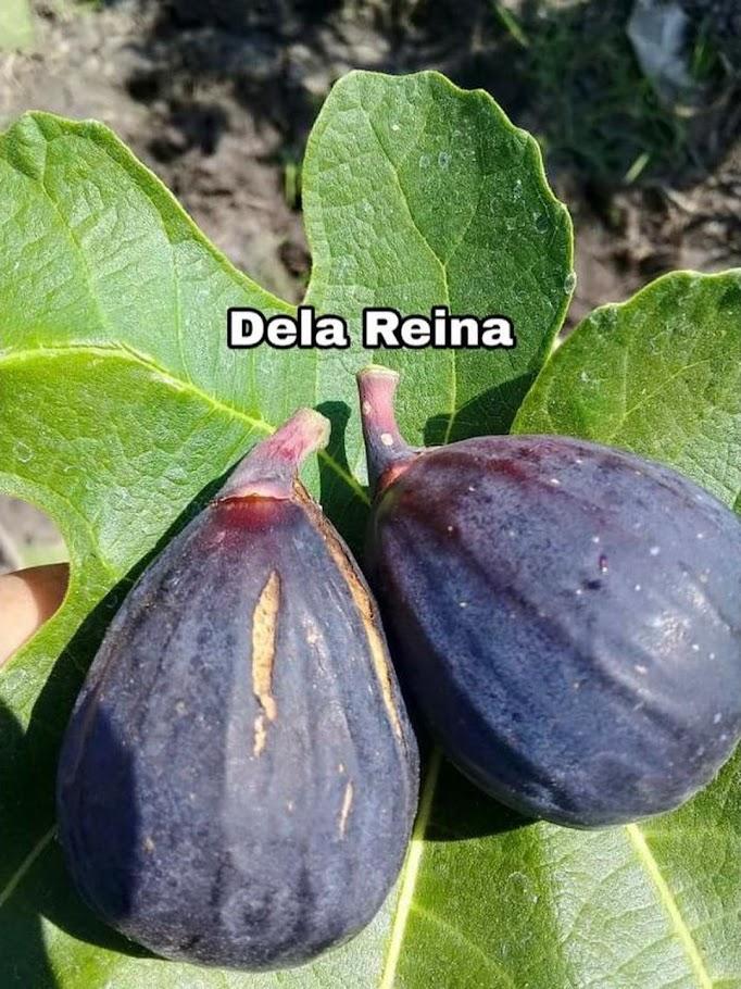 Bibit buah tin DELA REINA fresh cangkok Sumatra Barat