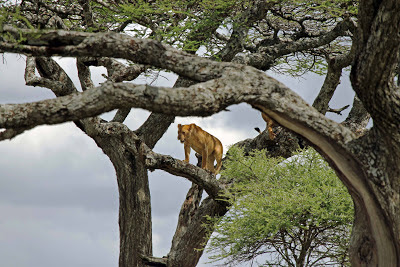Lion up tree in serengeti