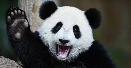 Pandas Gigantes não estão mais ameaçados de extinção afirma China