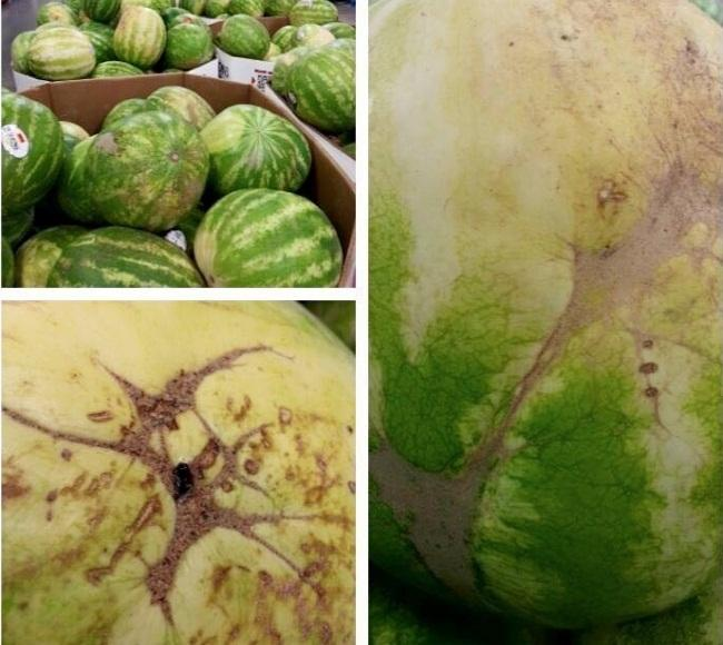 Bercak pada kulit buah semangka