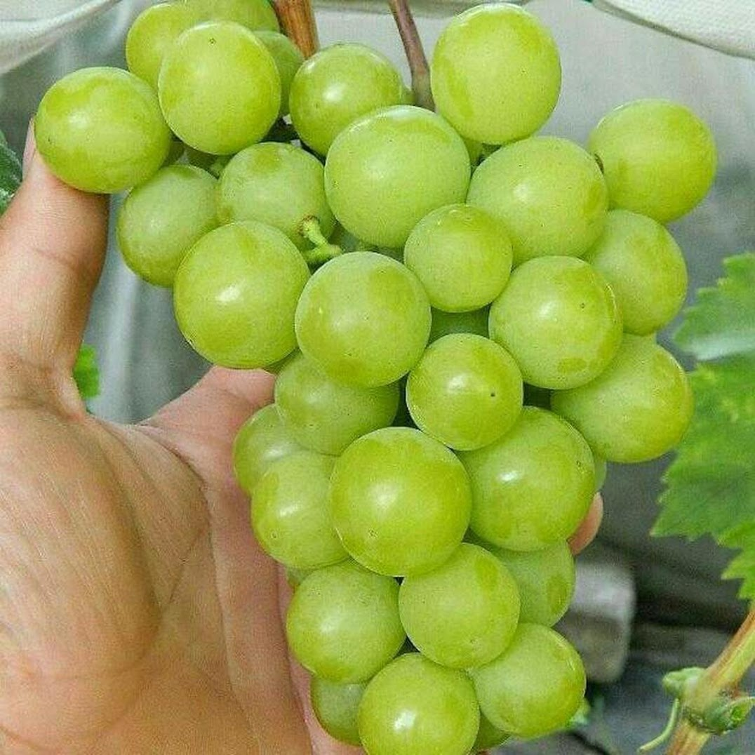 Bibit anggur impor superior BISA COD Sulawesi Utara