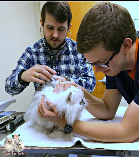 vet examining persian cat