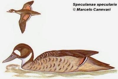 Pato de anteojos Speculanas specularis