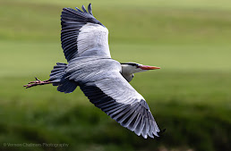 Grey Heron  in Flight at Woodbridge Island