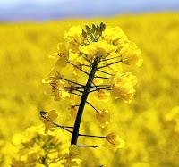 Kolza bitkisinin sarı çiçekleri