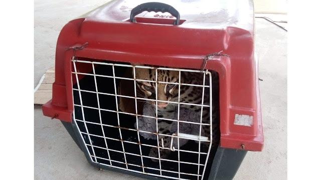 PA: Moradora descobre que gato que criava há 7 meses era uma jaguatirica - Adamantina Notìcias
