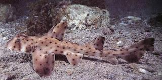 Jenis Ikan Hiu Yang Dapat Dipelihara Di Aquarium - Horn Shark