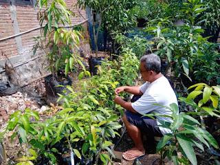 Henry Handoko Juga Berkebun Mangga Juga Kembangkan Bibitnya