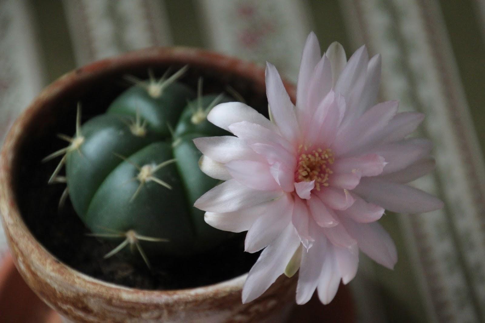 odlingstips kaktusar
