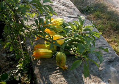 Fresh organic zucchini and their flowers at Ristorante Dondoli.