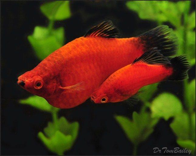 Ikan Platy ( Xiphophorus maculatus )