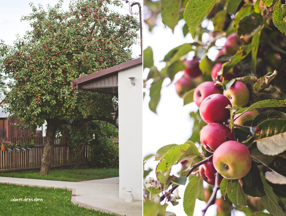 stara jabłoń