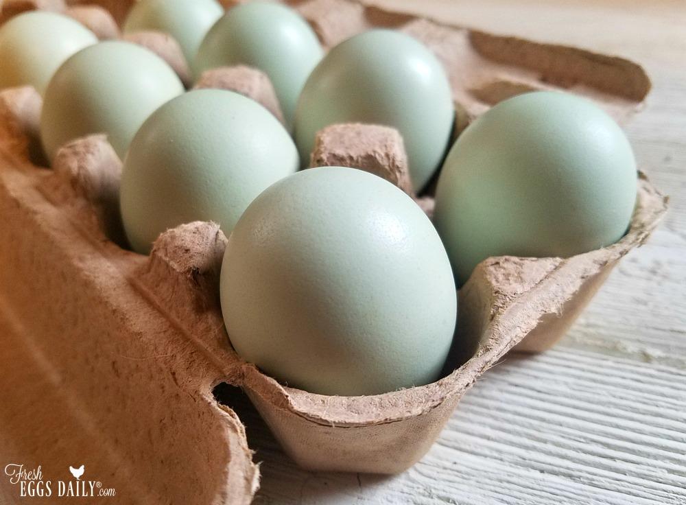 Ameraucana vs  Araucana vs  Easter Egger - The Blue Egg
