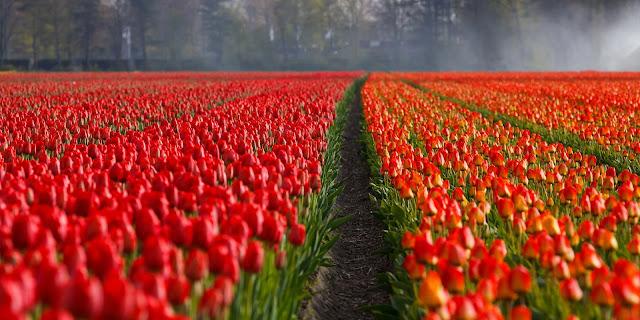 beutiful red flower field