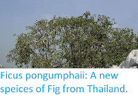 http://sciencythoughts.blogspot.com/2019/05/ficus-pongumphaii-new-speices-of-fig.html
