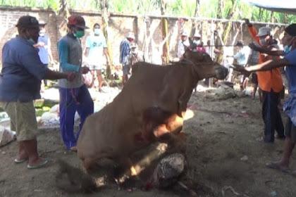 Sapi Kurban Di Lumajang Ngamuk, Sebelum Disembelih Dan Nyaris Serang Warga